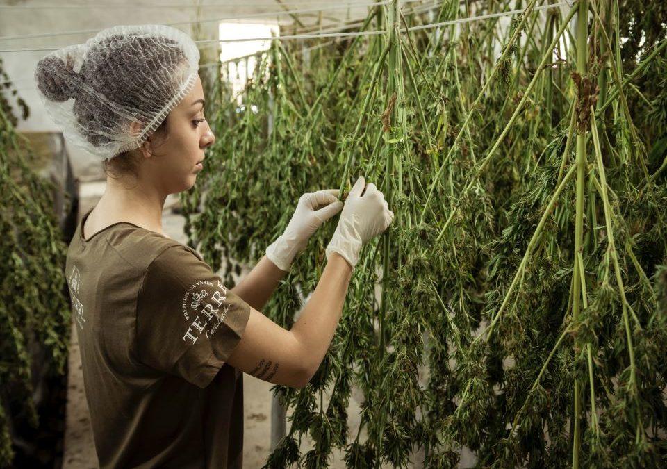 Cannabisarticles